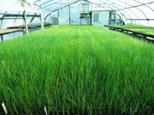 Зеленый лук выращивание в теплице бизнес